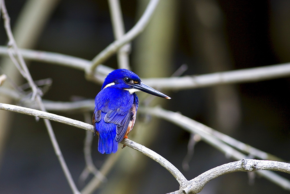 Tree Kingfisher, Queensland, Australia
