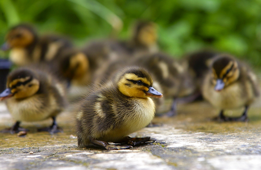 Mallard ducklings just a few days old, Swinbrook, Oxfordshire, England