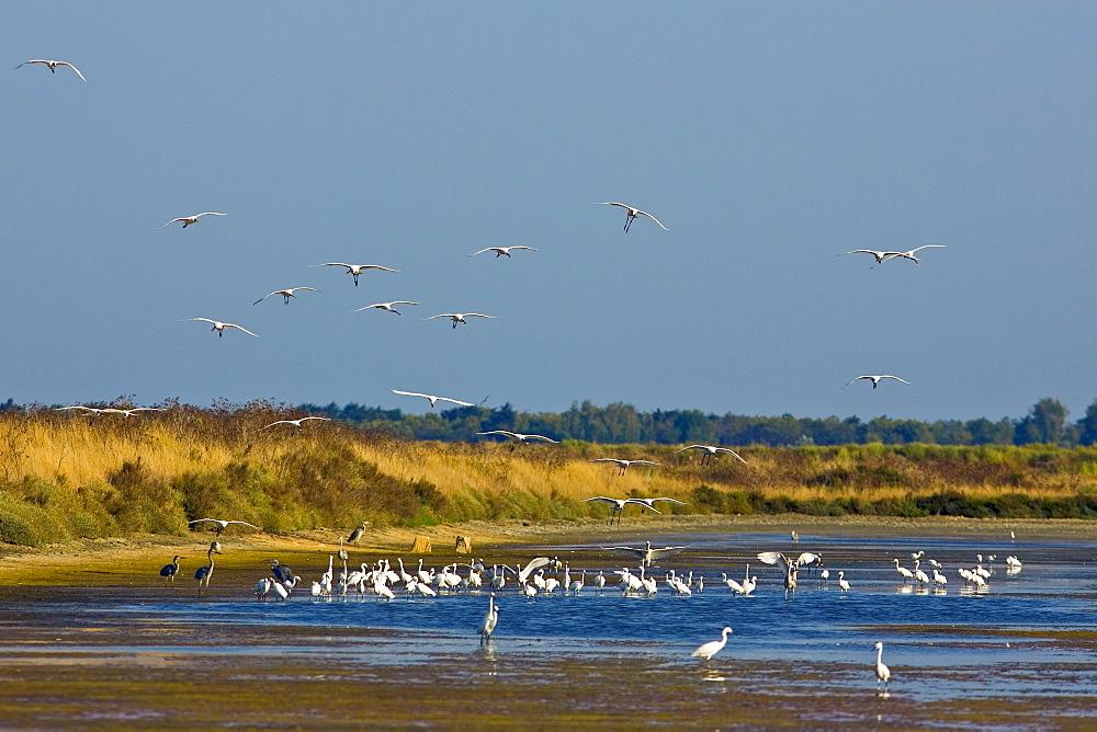 Spoonbills and herons, Ars en Re, Ile de Re, France
