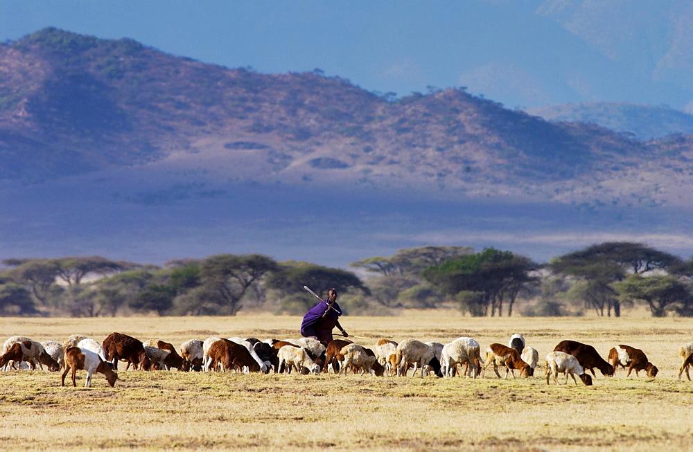 Young Masai Warrior (moran) with his flock, Serengei Plains, Tanzania . - 1161-195