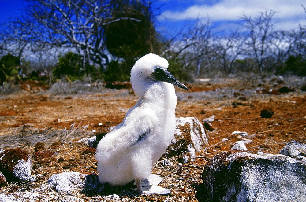 Blue-footed Booby juvenile bird on Galapagos Islands, Ecuador