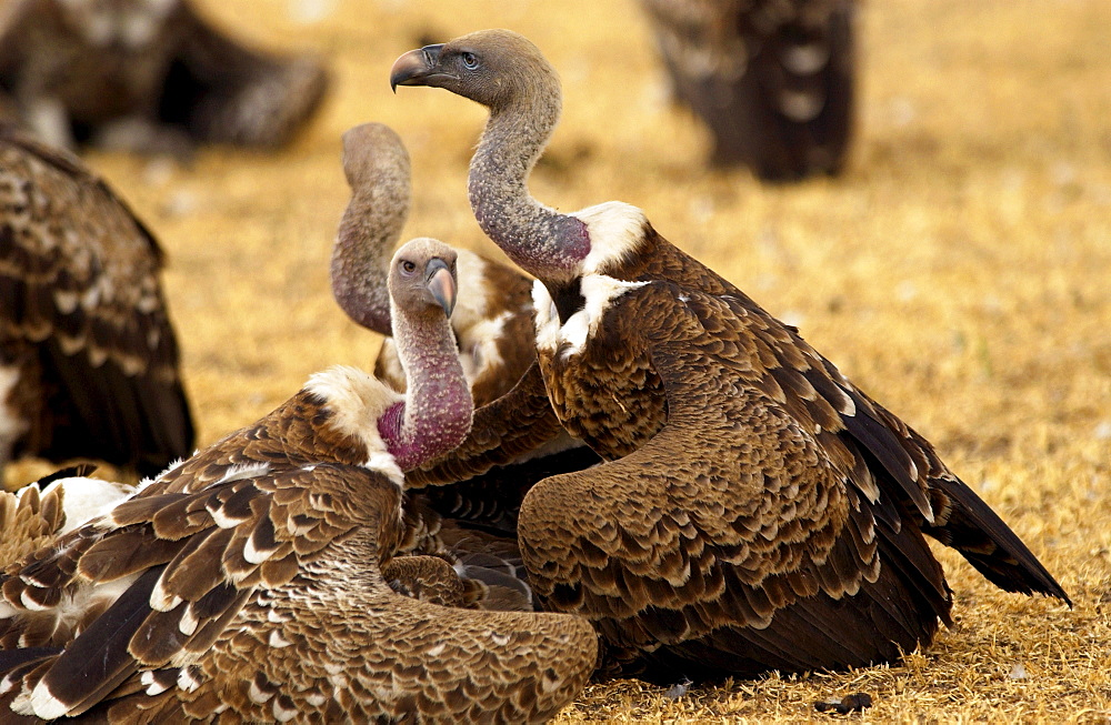 Lappet Faced Vultures, Grumet, Tanzania, East Africa
