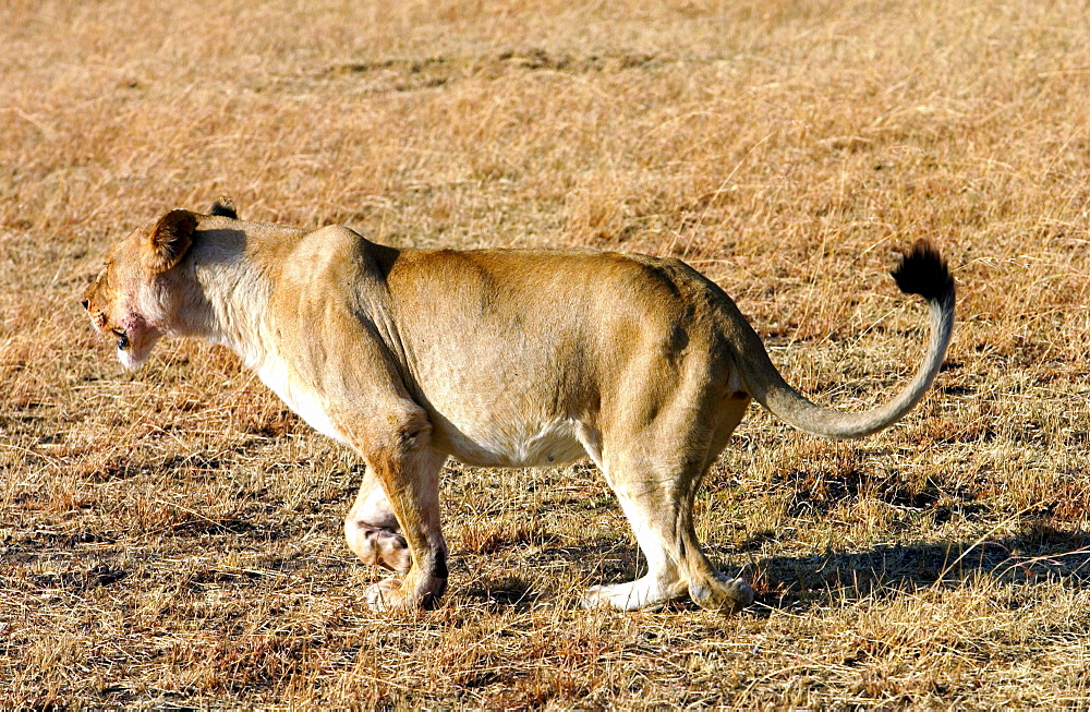 A  lioness hunting, Grumeti, Tanzania, East Africa.She has lost a paw after being caught in a poachers snare but still hunts successfully for herself and her cubs.