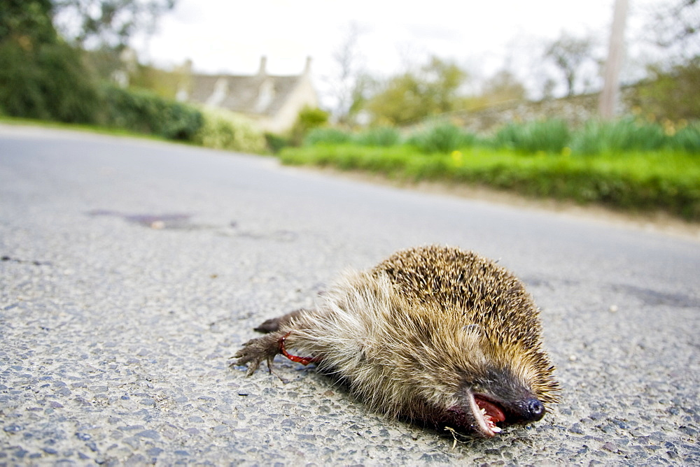 Dead hedgehog on country road, Swinbrook, Oxfordshire, United Kingdom