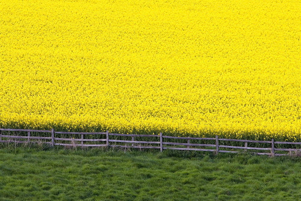 Rape seed crop field near Stow-On-The-Wold, The Cotswolds, Gloucestershire, England, United Kingdom