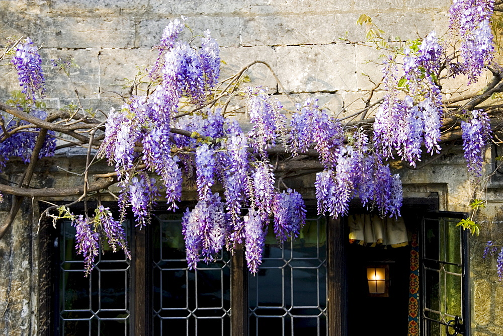 Wisreia above The Bay Tree Hotel's windows, Burford,The Cotswolds, United Kingdom