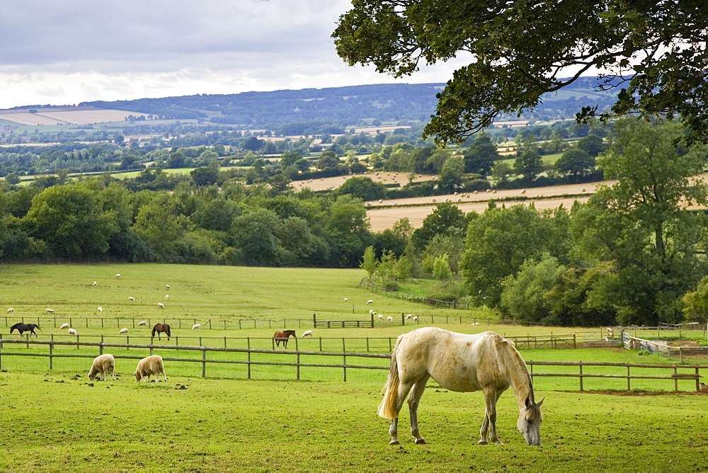 Horses and sheep grazing in paddock at Chastleton in the Cotswolds, England, United Kingdom.