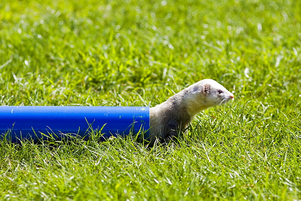 Ferret crawls through a pipe at ferret racing event, Oxfordshire, United Kingdom