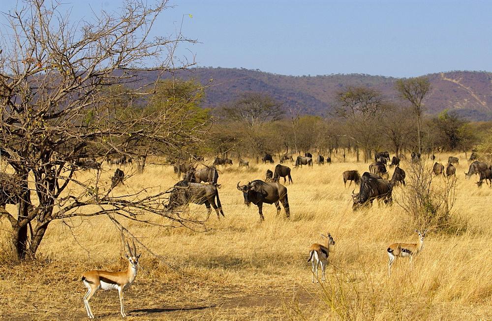 Blue Wildebeest and Thomson's Gazelles, Grumeti, Tanzania