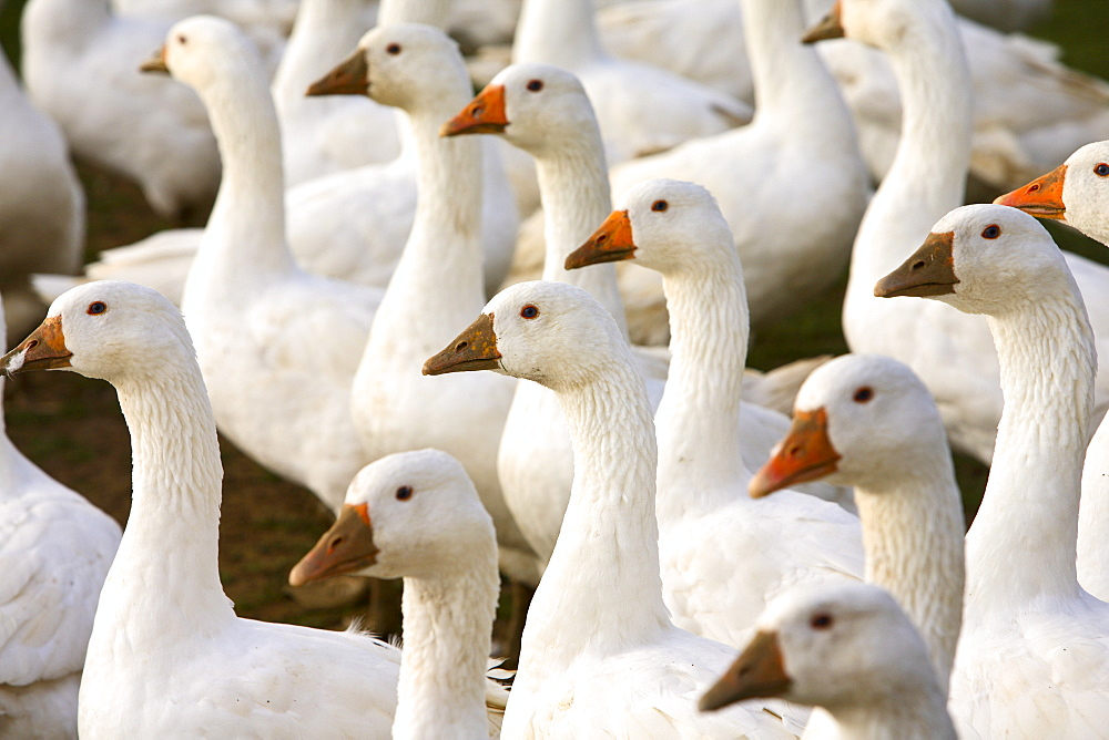 Geese farm, Oxfordshire, United Kingdom. Free-range birds may be at risk if Avian Flu (Bird Flu Virus) spreads