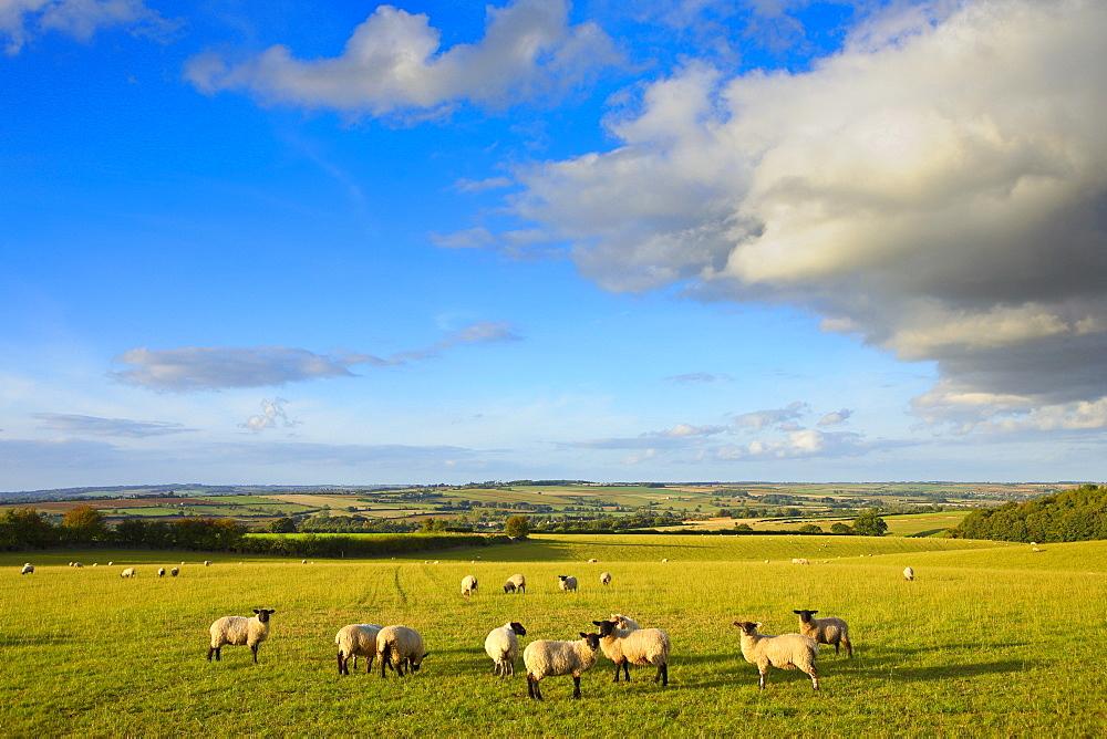 Sheep grazing in Oxforshire, United Kingdom