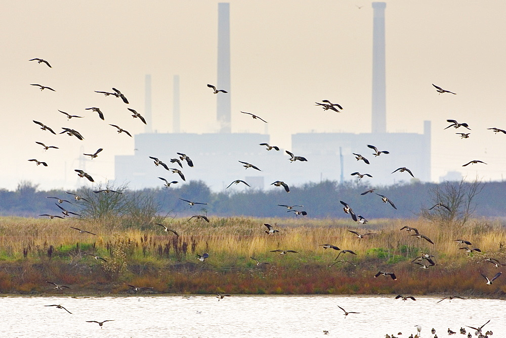 Migratory Lapwings at Thames Estuary.  It is feared that Avian Flu (Bird Flu) could be brought to Britain from Europe by migrating birds.