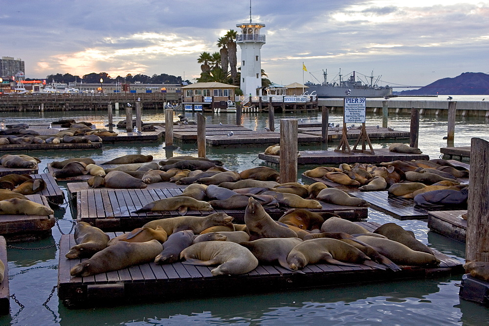 California Sea-Lions rest on floating rafts at Pier 39, San Francisco, United States of America
