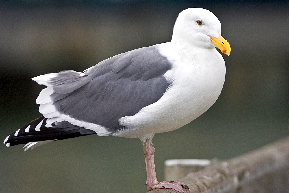 Greater Black-Backed Gull by San Francisco bay, California, United States of America
