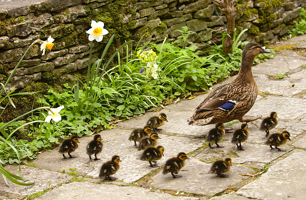 Mallard duck with her ducklings, Cotswolds, England