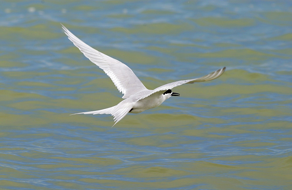 White-fronted tern  (Sterna Striata) in flight across the Hauraki Gulf off the Coromandel Peninsula,  North Island, New Zealand