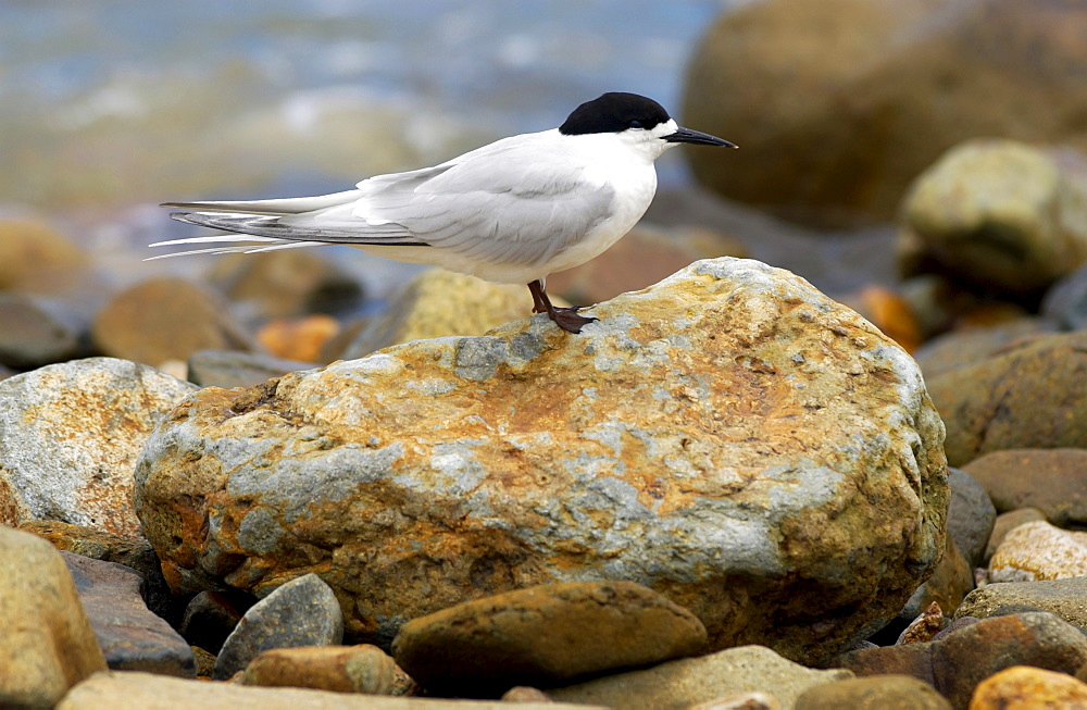 White-fronted tern (Sterna Striata)  in North Island, New Zealand