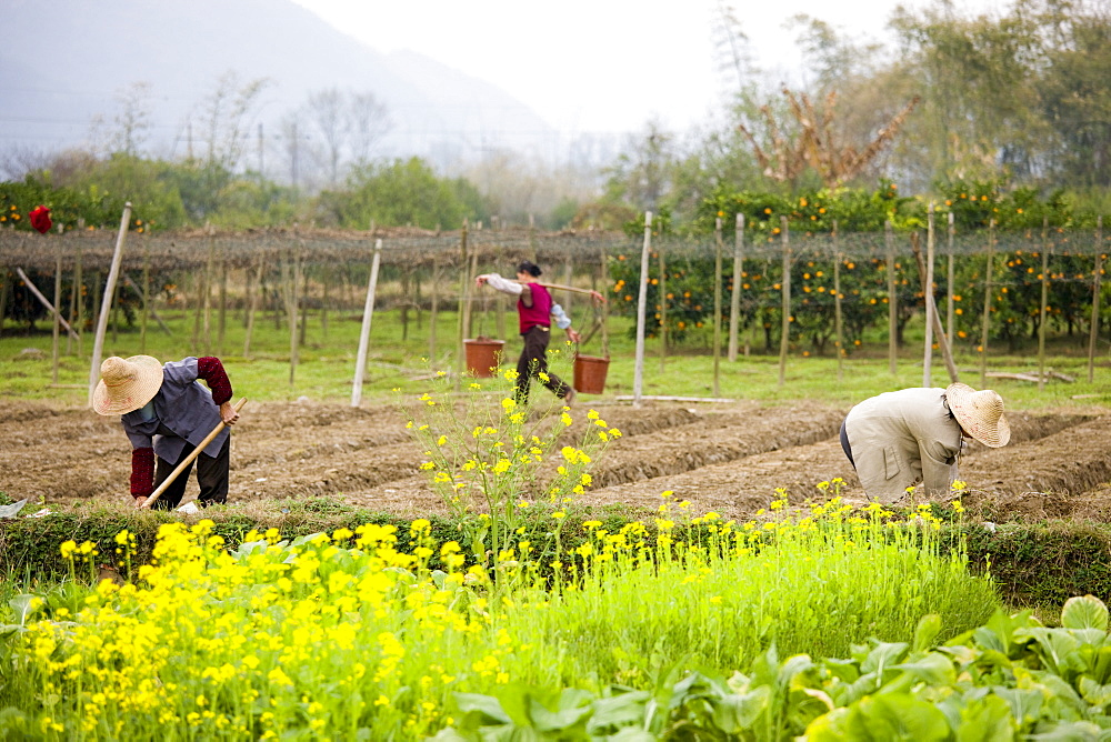 Women working at a tree plantation at Zhong Yong near Guilin, China