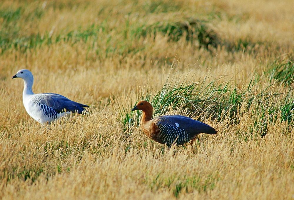 A pair of  Upland Geese on Sea Lion Island  in the Falkland Islands, South Atlantic (The female goose has a ruddy heads, the male has a white head).
