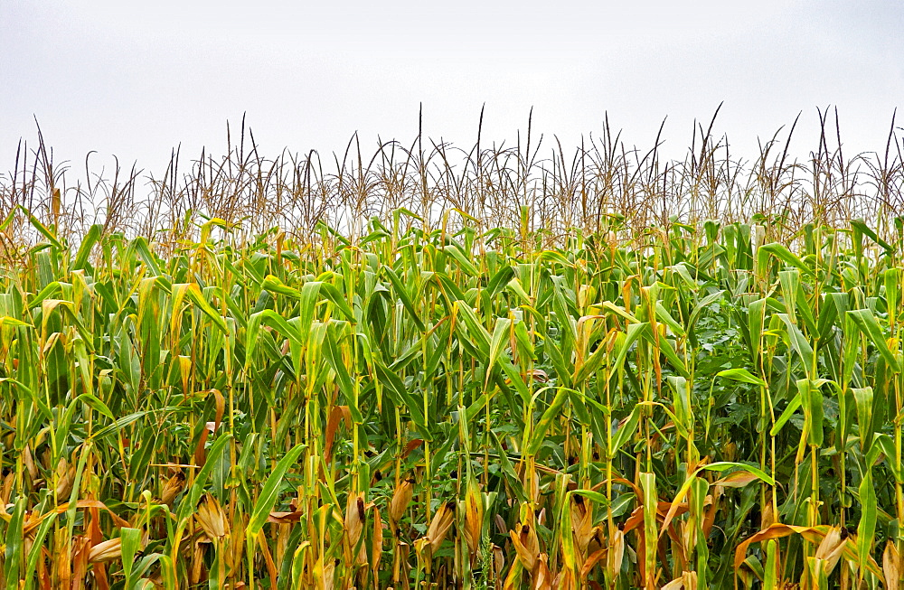 A  field of maize plants in France