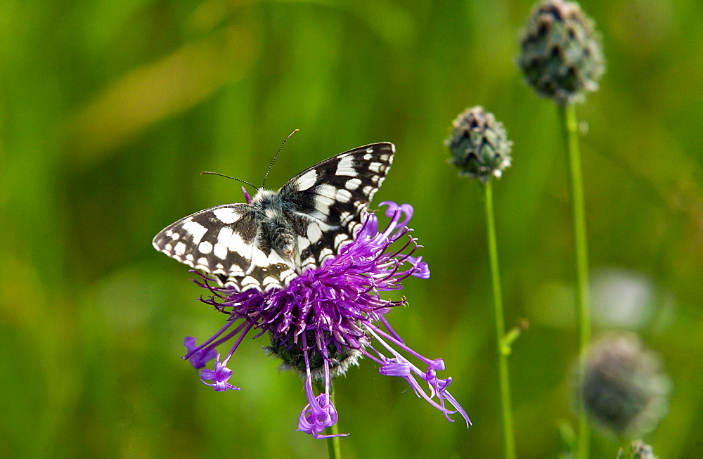 Marbled White Butterfly on Knapweed in Oxfordshire, England