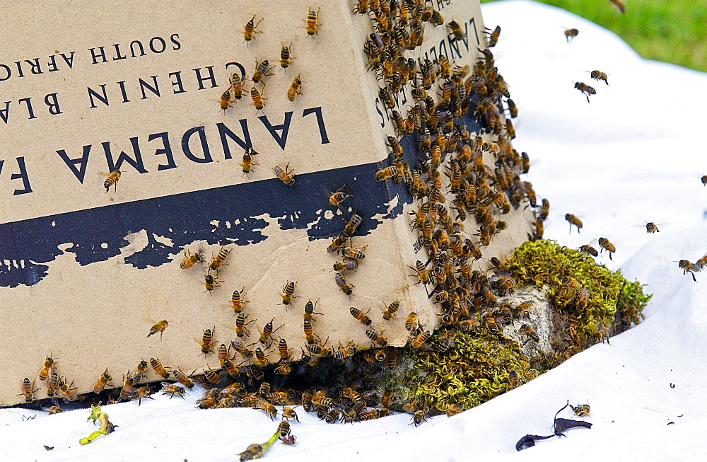 Trapping a swarm of honey bees in a cardboard box, the Cotswolds, UK