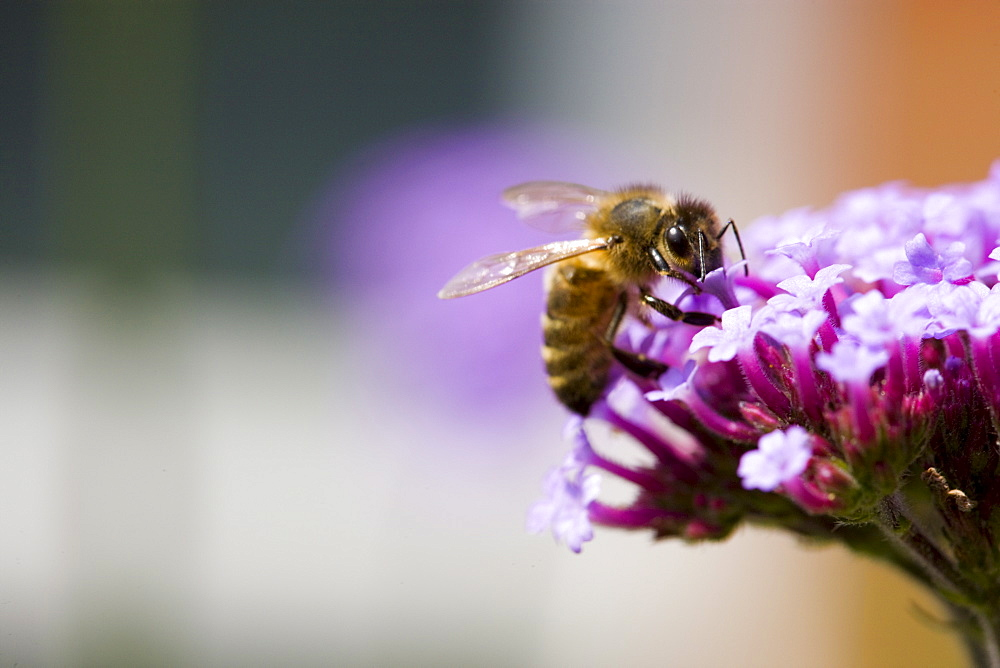 Honey bee gathering nectar from Verbena bonariensis flower in herbaceous border of country garden, UK