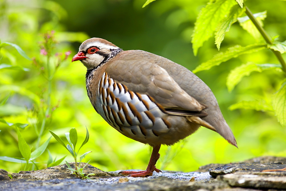 Red-legged French Partridge, UK