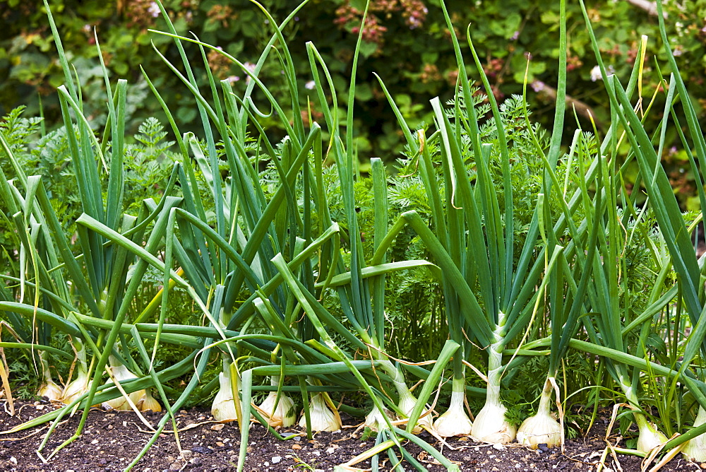 English onions vegetables, alliums, growing in kitchen garden, Sussex