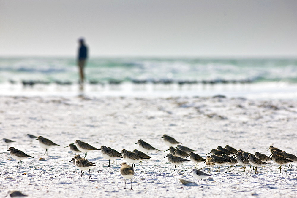 Shorebirds at Anna Maria Island, Florida, United States of America