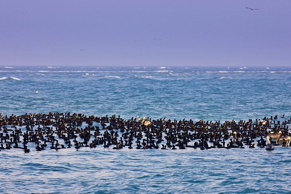 Double-crested Cormorants and Brown Pelicans floating in the Gulf of Mexico by Anna Maria Island, Florida, USA
