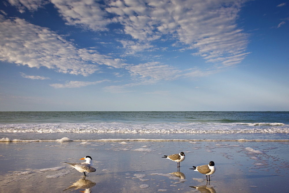 Royal tern, left, Laughing Gulls right shoreline and beach at Anna Maria Island, Florida, USA