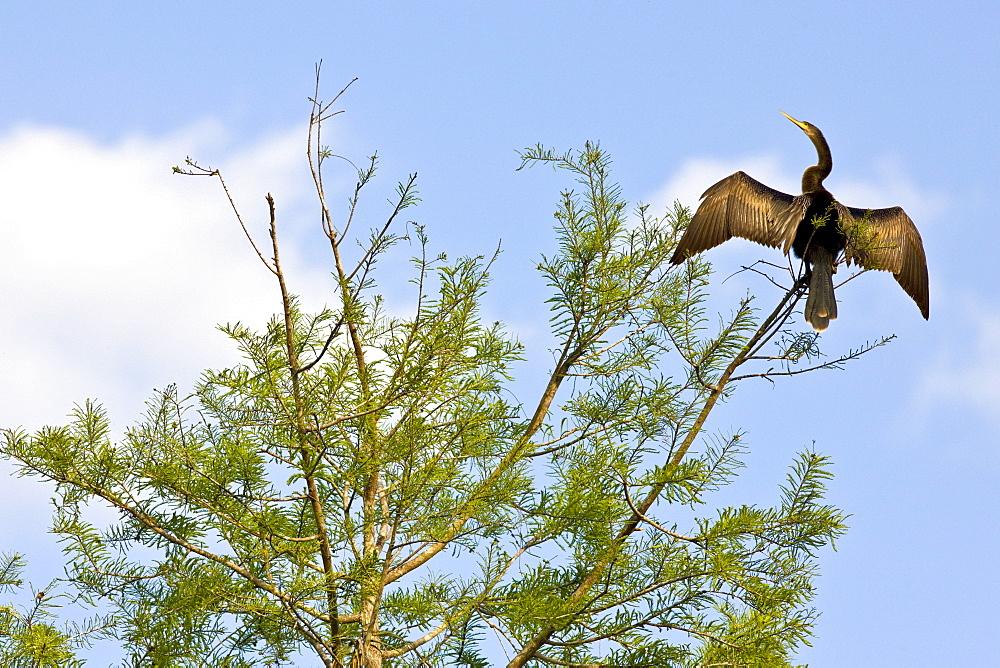 Anhinga snakebird darter, Anhinga anhinga, in the Everglades, Florida, United States of America