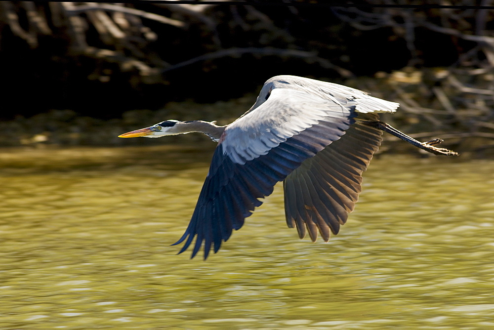 Great Blue Heron in flight, Everglades, Florida, United States of America