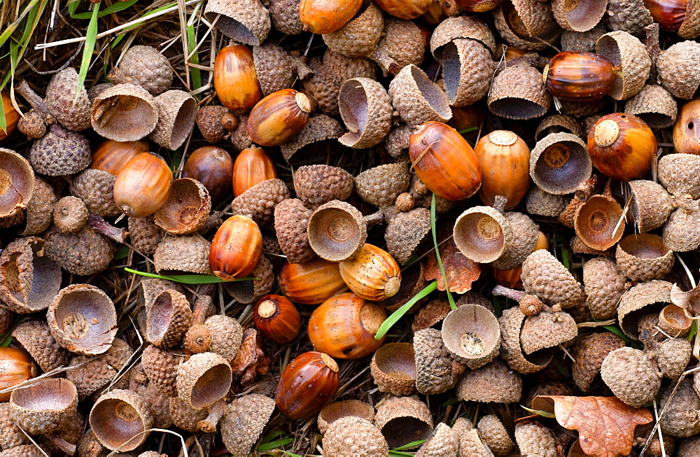 Acorns in a woodland setting during autumn in England - 1161-403