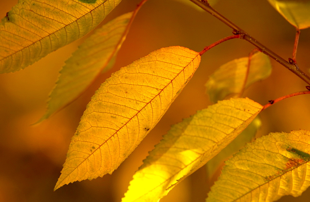 Cherry tree leaves during autumn in England - 1161-405