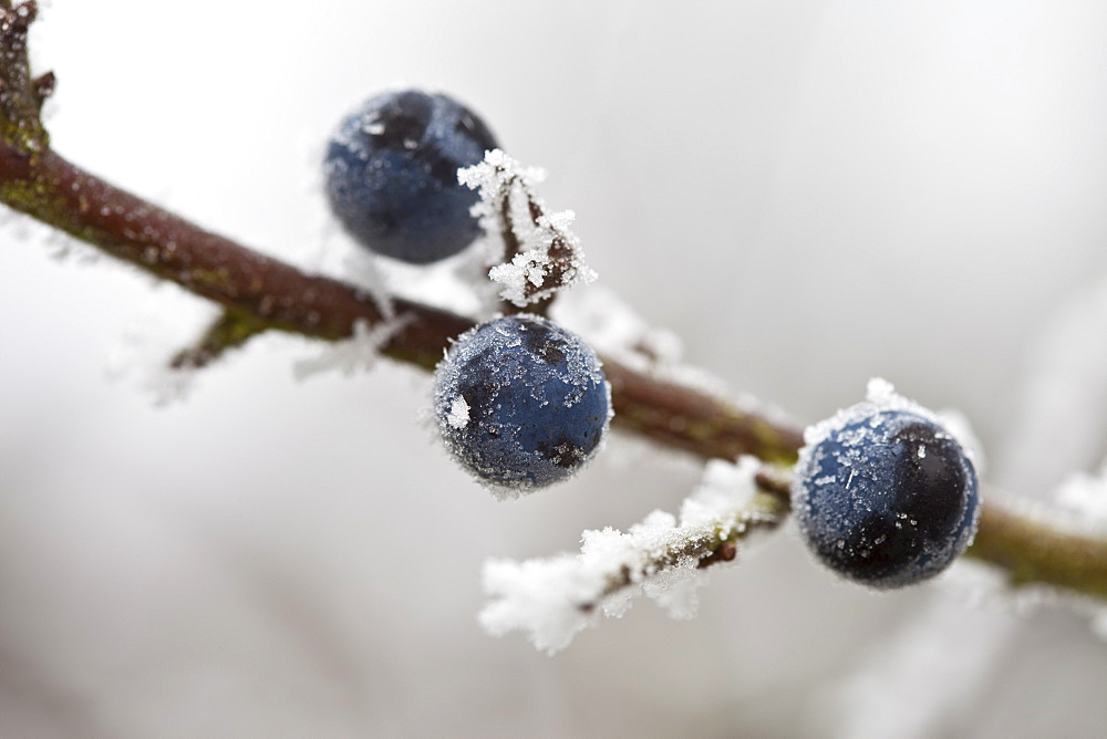 Winter scene hoar frost on sloe berries in The Cotswolds, UK