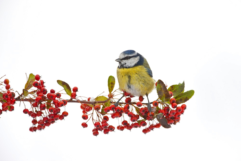 Blue tit perches on branch of pyracantha berries by snowy slope in The Cotswolds, UK