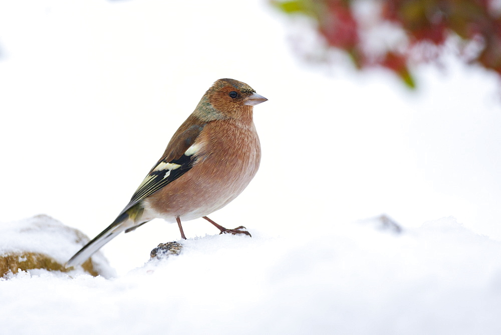 Chaffinch female perches by snowy hillside, The Cotswolds, UK