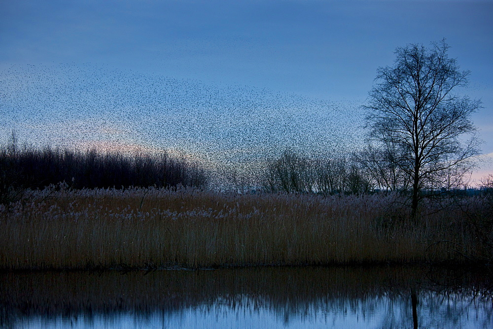 A murmuration of starlings, numbering well over a million birds, gather as a flock to roost at dusk on the Avalon Marshes at Shapwick Heath Nature Reserve in Somerset