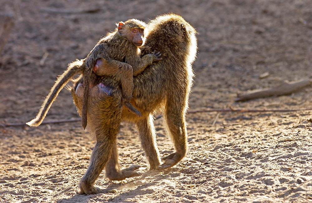 Female Olive Baboon carrying young, Grumeti, Tanzania