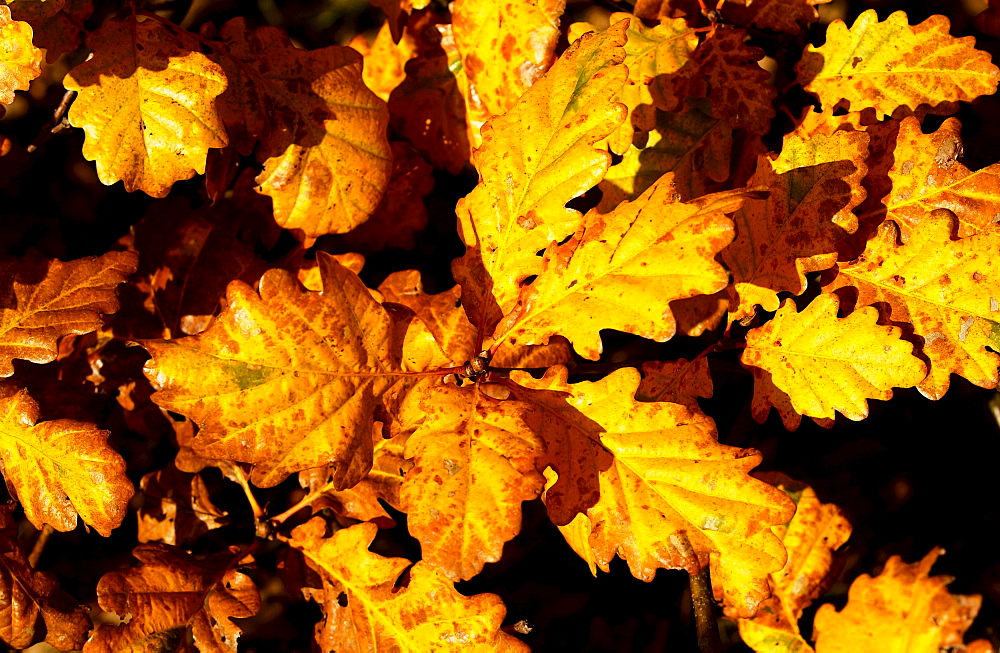 Oak leaves in  autumn in Oxfordshire, England - 1161-421