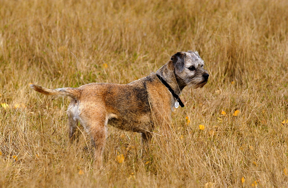 Jess, a Border Terrier  in a  meadow  in Oxfordshire, England