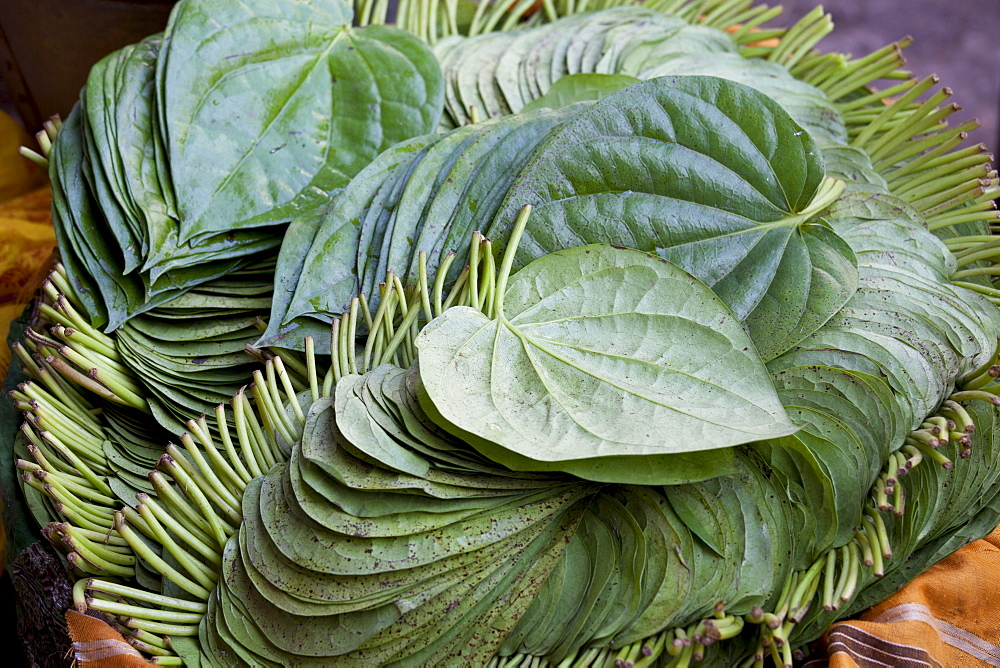 Betel leaves, Piper betle, on sale for medicinal use and as mild stimulant in Old Delhi at Khari Baoli spice market, India