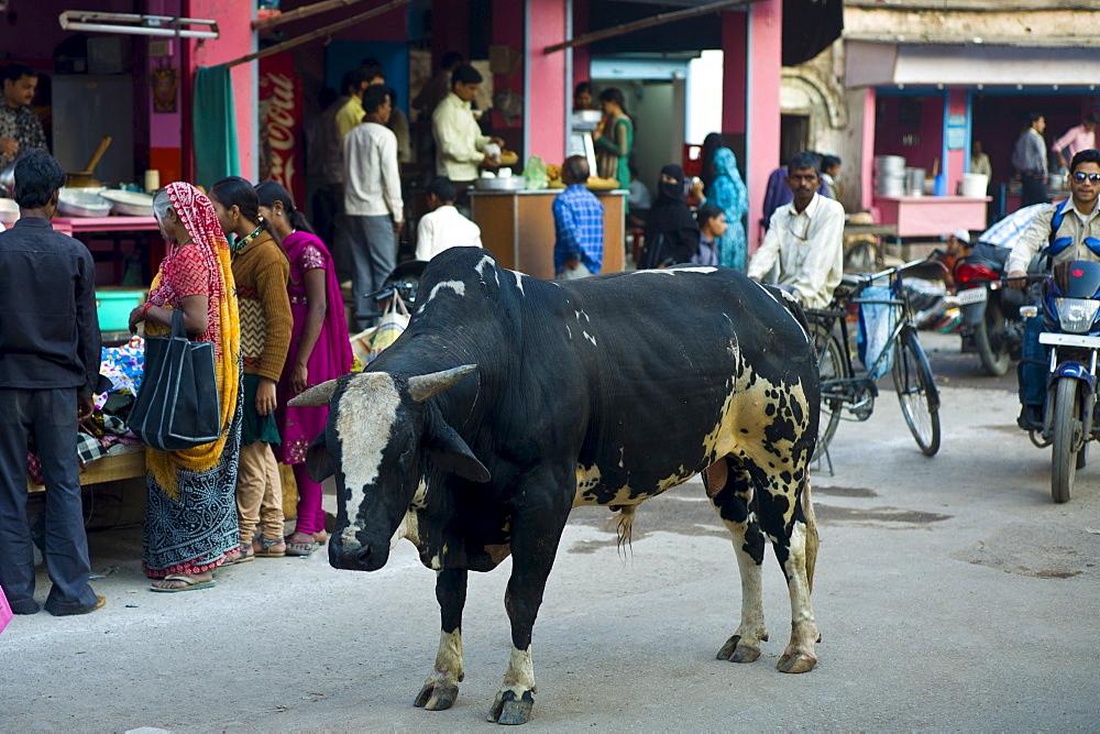 Bull roams in the street in city of Varanasi, Benares, Northern India