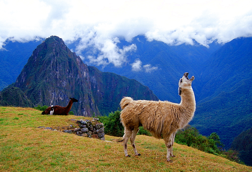 Llama, Machu Picchu ruins of the Inca citadel discovered in 1911 in Peru, South America