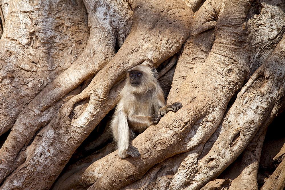 Indian Langur monkey, Presbytis entellus, in Banyan Tree in Ranthambhore National Park, Rajasthan, Northern India