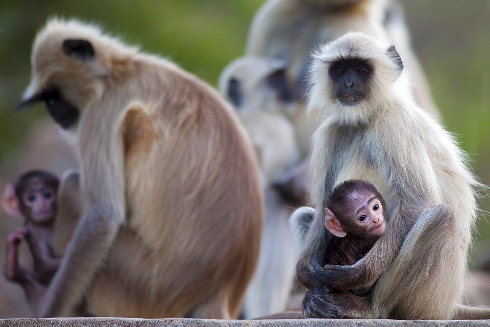Indian Langur monkeys, Presbytis entellus, in Ranthambore National Park, Rajasthan, India