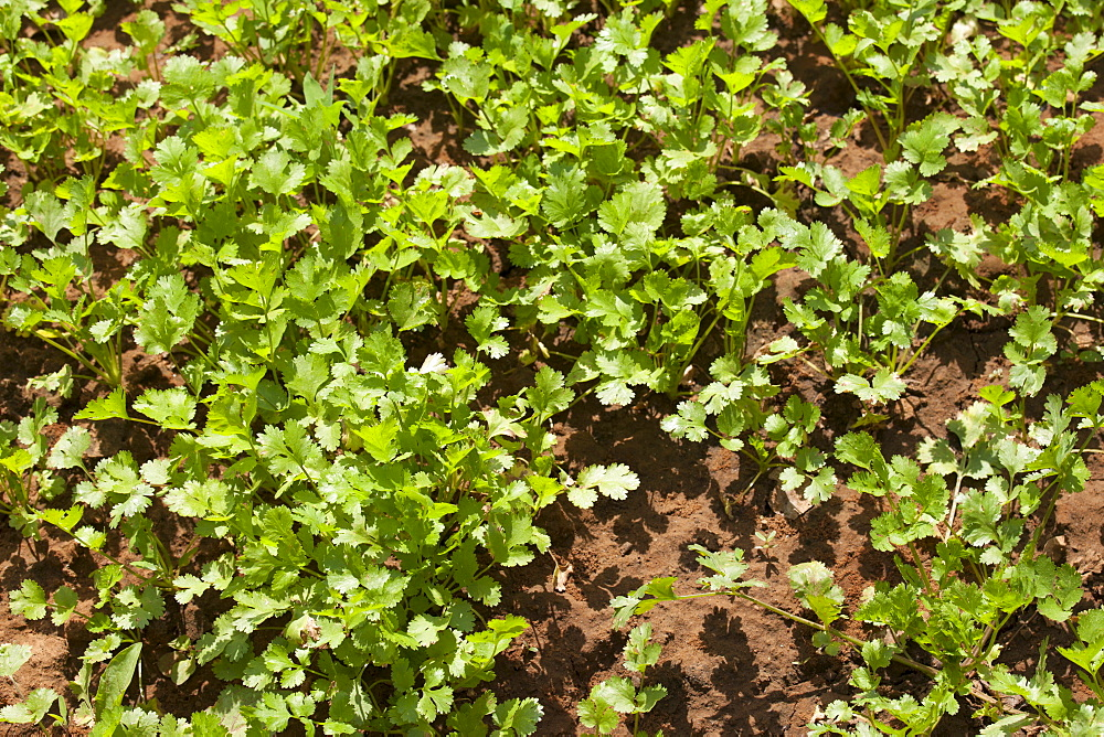 Coriander herb growing at farm smallholding at Sawai Madhopur near Ranthambore in Rajasthan, India
