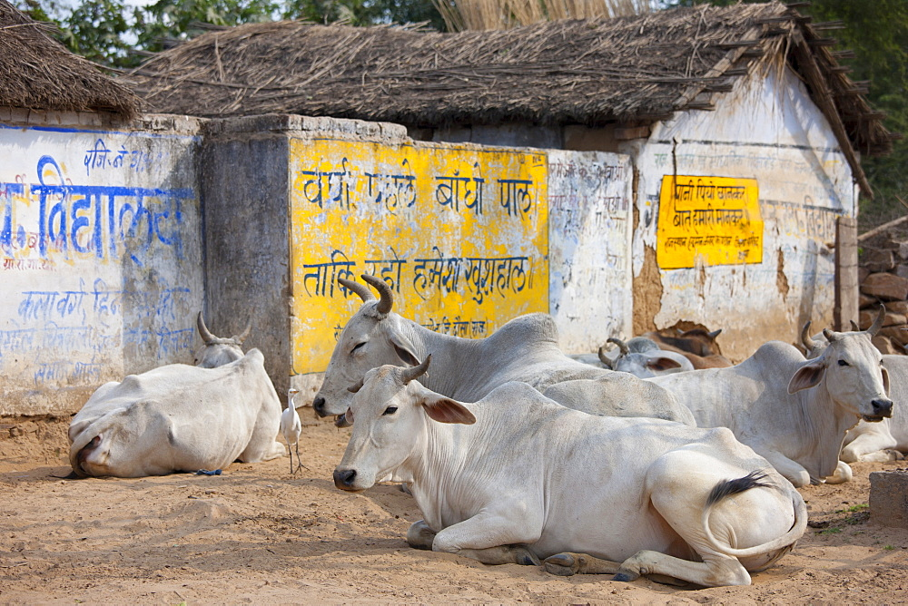 Bull among herd of cattle at Jhupidiya Village in Sawai Madhopur, Rajasthan, Northern India